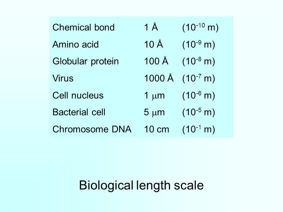 Biological length scale Chemical bond1 Å(10 -10 m) Amino acid10 Å(10 -9 m) Globular protein100 Å(10 -8 m) Virus1000 Å(10 -7 m) Cell nucleus1  m(10 -6 m) Bacterial cell5  m(10 -5 m) Chromosome DNA10 cm(10 -1 m)