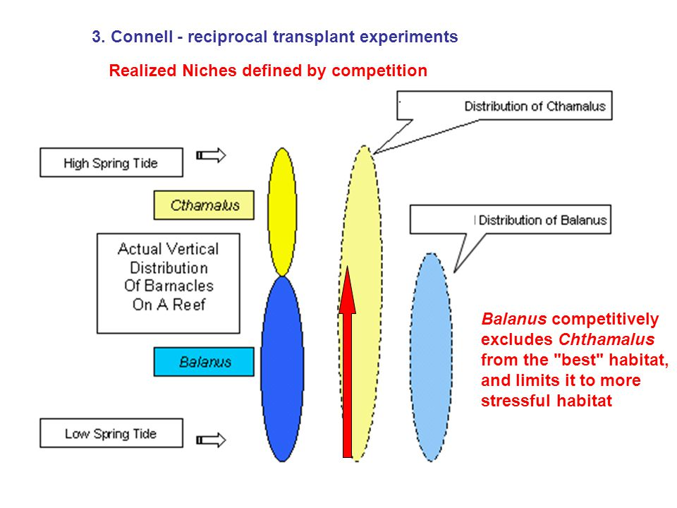 3. Connell - reciprocal transplant experiments ): Realized Niches defined by competition Balanus competitively excludes Chthamalus from the