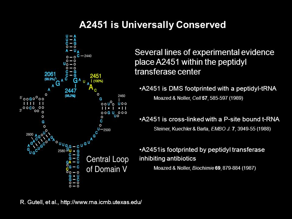 A2451 is Universally Conserved Several lines of experimental evidence place A2451 within the peptidyl transferase center A2451 is DMS footprinted with