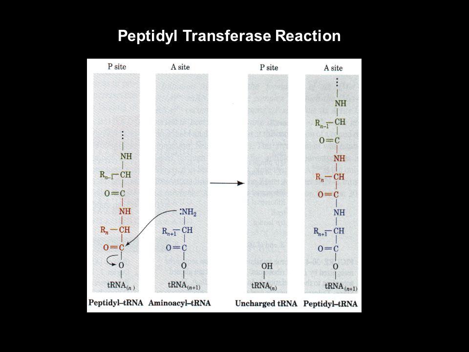 Peptidyl Transferase Reaction