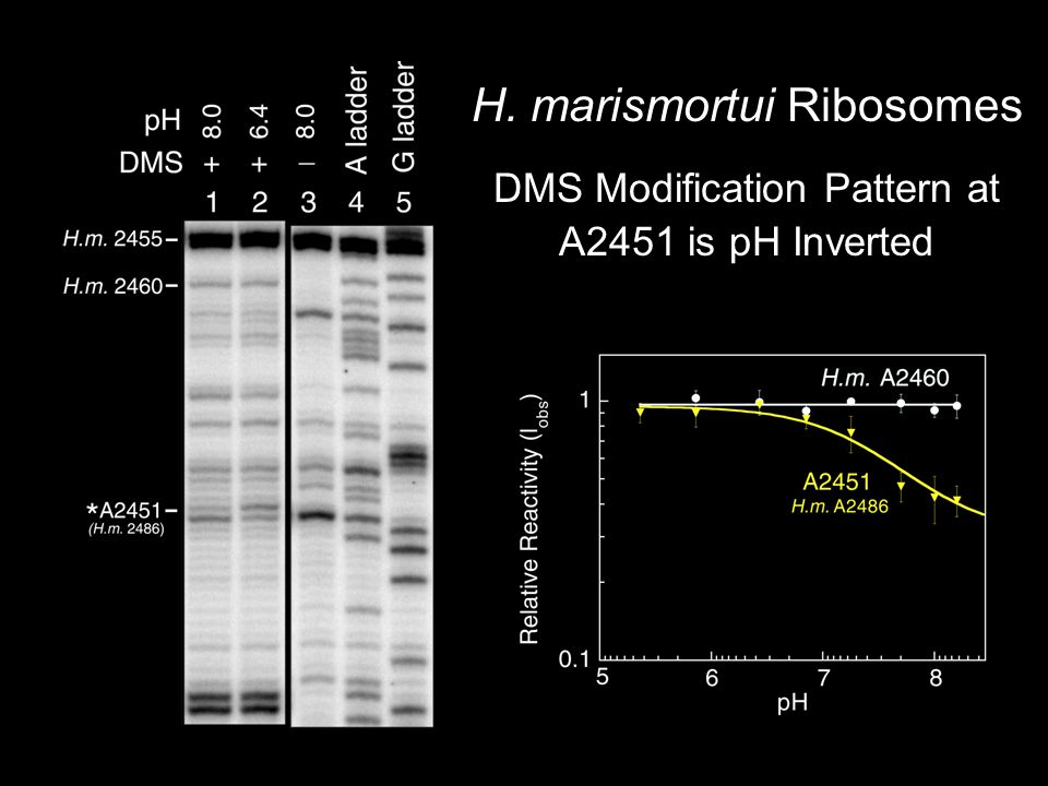 H. marismortui Ribosomes DMS Modification Pattern at A2451 is pH Inverted