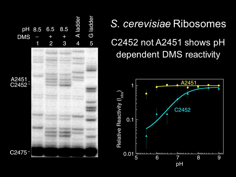 S. cerevisiae Ribosomes C2452 not A2451 shows pH dependent DMS reactivity