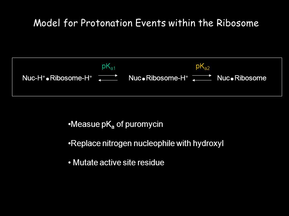 Nuc-H +  Ribosome-H + Nuc  RibosomeNuc  Ribosome-H + pK a1 pK a2 Model for Protonation Events within the Ribosome Measue pK a of puromycin Replace