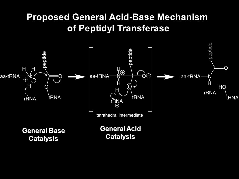 A2451 is Universally Conserved Several lines of experimental evidence place A2451 within the peptidyl transferase center A2451 is DMS footprinted with a peptidyl-tRNA Moazed & Noller, Cell 57, 585-597 (1989) A2451 is cross-linked with a P-site bound t-RNA Steiner, Kuechler & Barta, EMBO J.