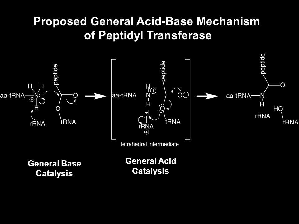 Proposed General Acid-Base Mechanism of Peptidyl Transferase General Base Catalysis General Acid Catalysis