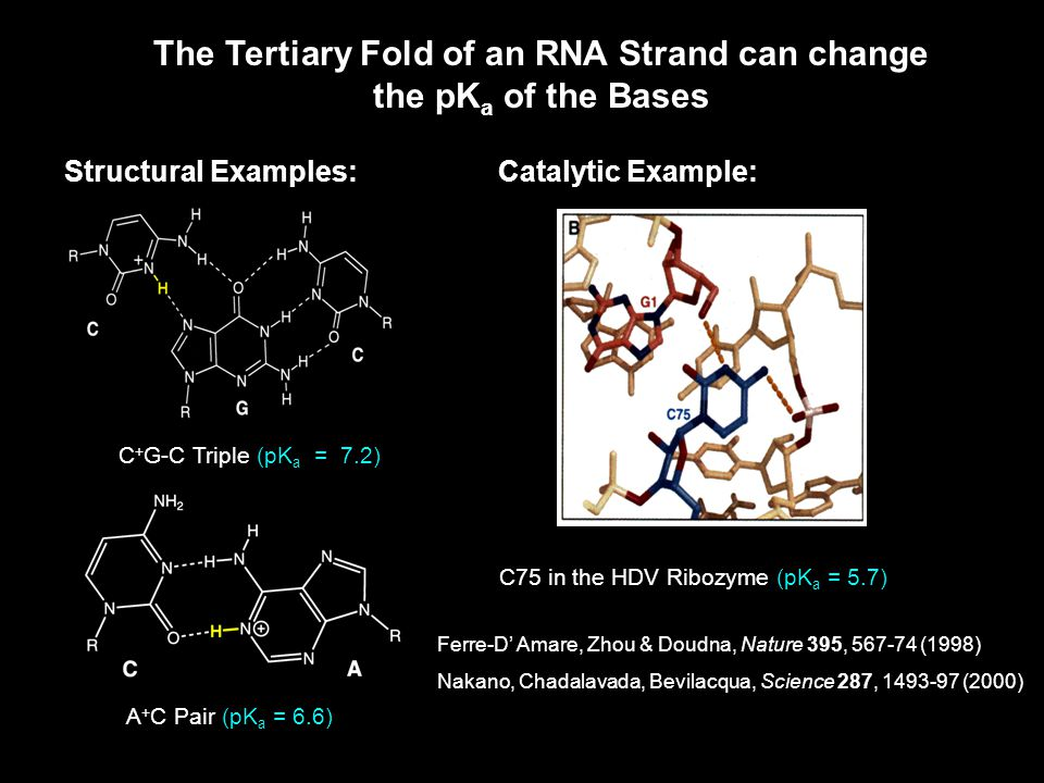 The Tertiary Fold of an RNA Strand can change the pK a of the Bases Structural Examples:Catalytic Example: C + G-C Triple (pK a = 7.2) A + C Pair (pK a = 6.6) C75 in the HDV Ribozyme (pK a = 5.7) Ferre-D' Amare, Zhou & Doudna, Nature 395, 567-74 (1998) Nakano, Chadalavada, Bevilacqua, Science 287, 1493-97 (2000)