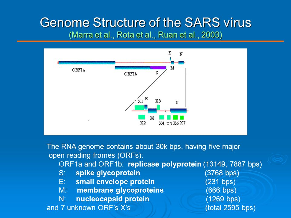 Genome Structure of the SARS virus (Marra et al., Rota et al., Ruan et al., 2003) The RNA genome contains about 30k bps, having five major open readin