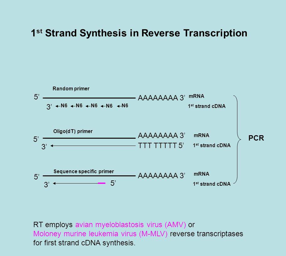 1 st Strand Synthesis in Reverse Transcription AAAAAAAA 3' N6 TTT TTTTT 5' 5' 3' Random primer Oligo(dT) primer Sequence specific primer 1 st strand cDNA mRNA 1 st strand cDNA mRNA 1 st strand cDNA mRNA 5' PCR RT employs avian myeloblastosis virus (AMV) or Moloney murine leukemia virus (M-MLV) reverse transcriptases for first strand cDNA synthesis.