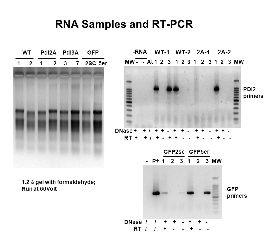 RNA Samples and RT-PCR 1 2 1 2 3 7 2SC 5er WTPdi2APdi9AGFP 1.2% gel with formaldehyde; Run at 60Volt MW - - At 1 2 3 1 2 3 1 2 3 1 2 3 MW PDI2 primers