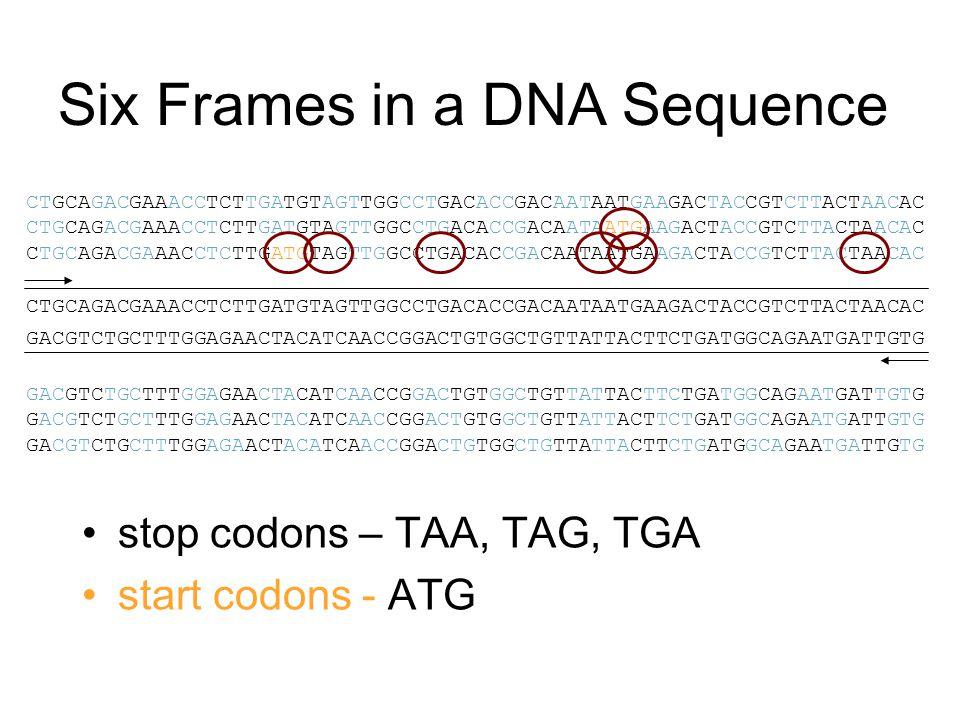 Six Frames in a DNA Sequence stop codons – TAA, TAG, TGA start codons - ATG GACGTCTGCTTTGGAGAACTACATCAACCGGACTGTGGCTGTTATTACTTCTGATGGCAGAATGATTGTG CTGCAGACGAAACCTCTTGATGTAGTTGGCCTGACACCGACAATAATGAAGACTACCGTCTTACTAACAC GACGTCTGCTTTGGAGAACTACATCAACCGGACTGTGGCTGTTATTACTTCTGATGGCAGAATGATTGTG CTGCAGACGAAACCTCTTGATGTAGTTGGCCTGACACCGACAATAATGAAGACTACCGTCTTACTAACAC