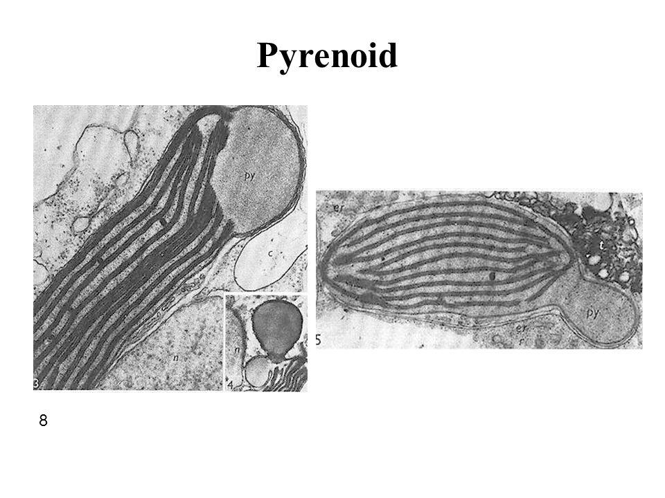 8 Pyrenoid