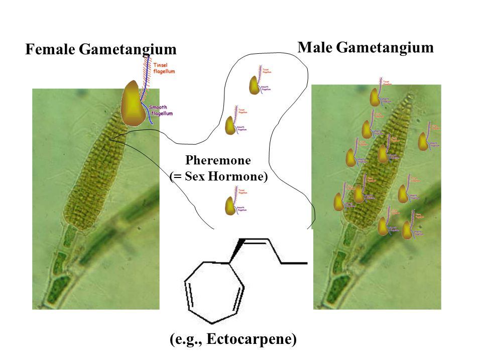 Female Gametangium Male Gametangium Pheremone (= Sex Hormone) (e.g., Ectocarpene)