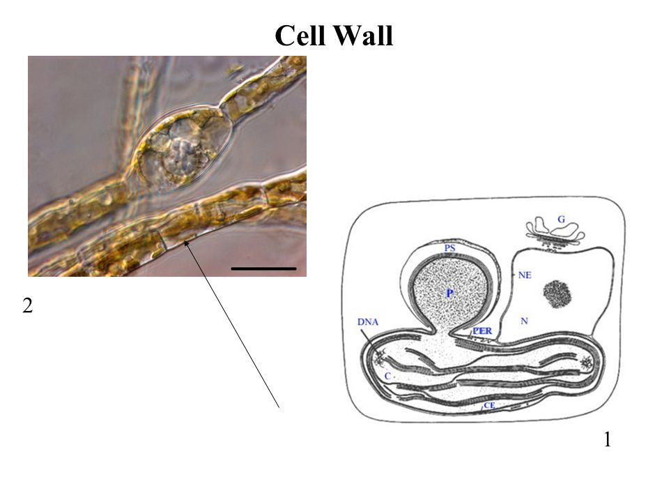 1 2 Cell Wall