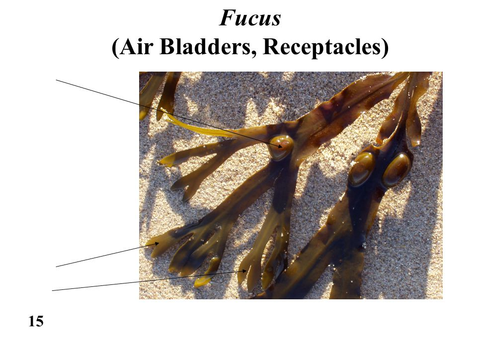 15 Fucus (Air Bladders, Receptacles)