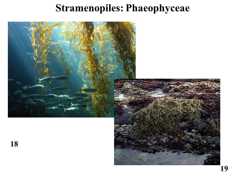 18 Stramenopiles: Phaeophyceae 19
