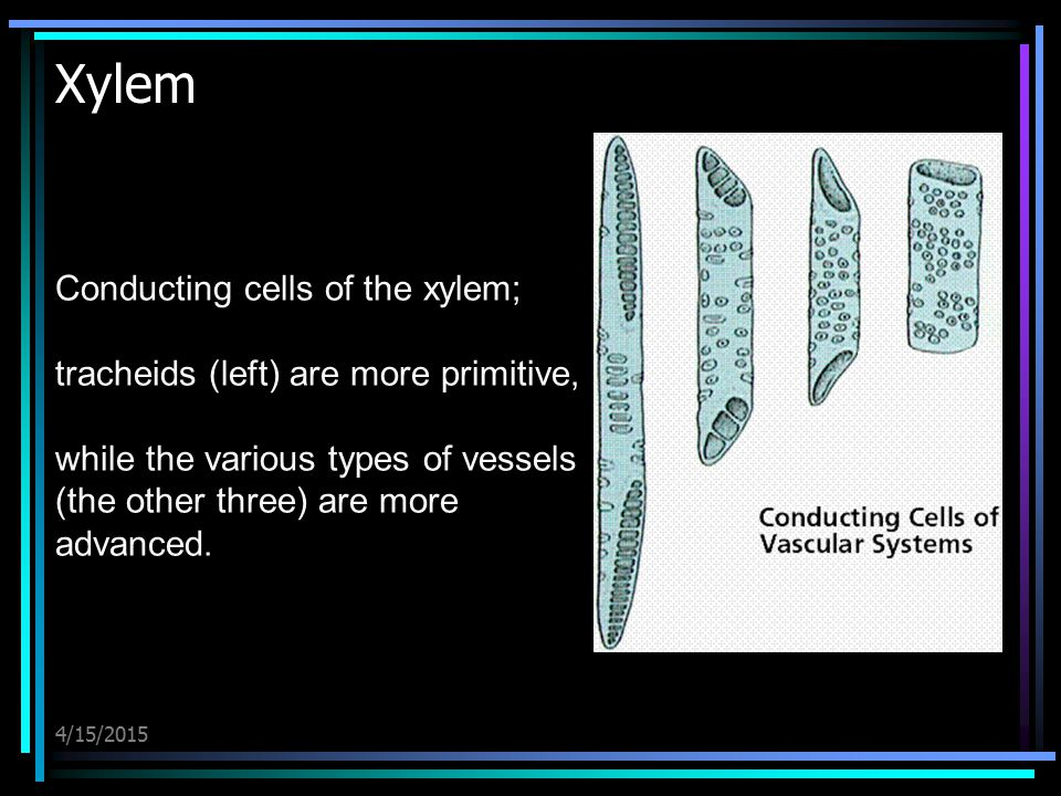 4/15/2015 Xylem Conducting cells of the xylem; tracheids (left) are more primitive, while the various types of vessels (the other three) are more adva