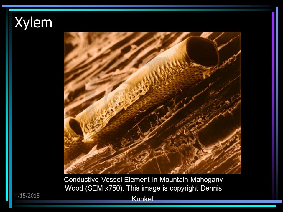 4/15/2015 Xylem Conductive Vessel Element in Mountain Mahogany Wood (SEM x750). This image is copyright Dennis Kunkel.