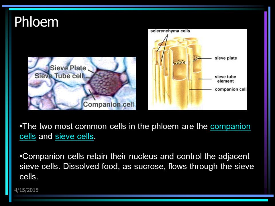 4/15/2015 Phloem The two most common cells in the phloem are the companion cells and sieve cells.companion cellssieve cells Companion cells retain the