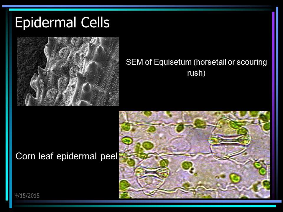 4/15/2015 Epidermal Cells SEM of Equisetum (horsetail or scouring rush) Corn leaf epidermal peel