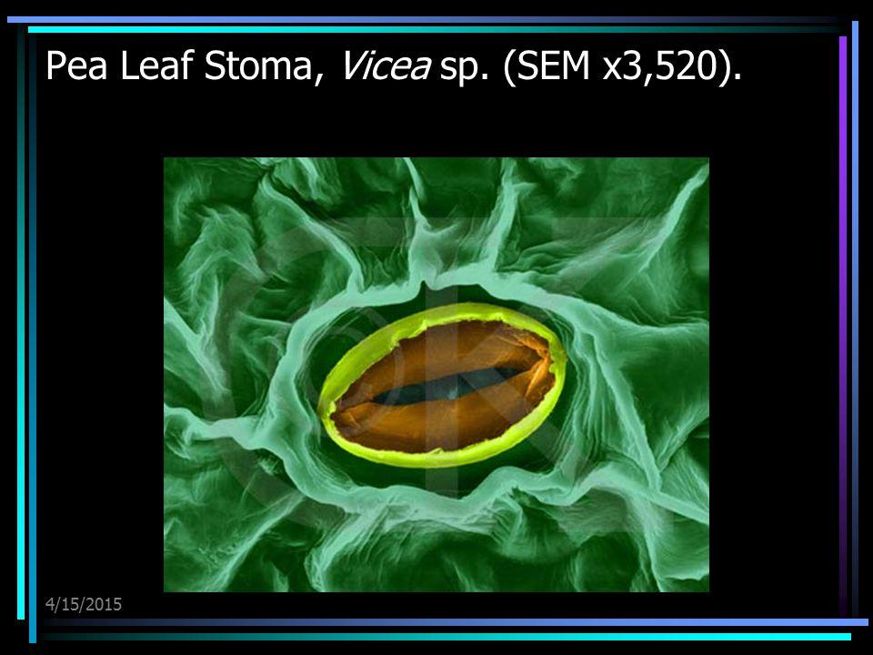 4/15/2015 Pea Leaf Stoma, Vicea sp. (SEM x3,520).