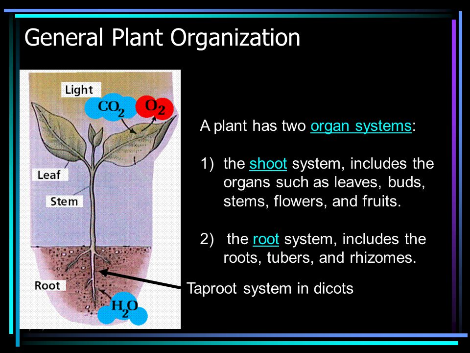 4/15/2015 General Plant Organization A plant has two organ systems:organ systems 1)the shoot system, includes the organs such as leaves, buds, stems,