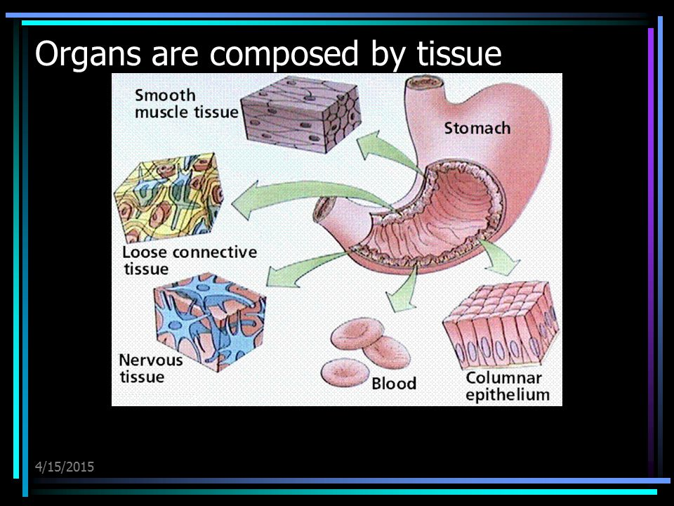 4/15/2015 Organs are composed by tissue
