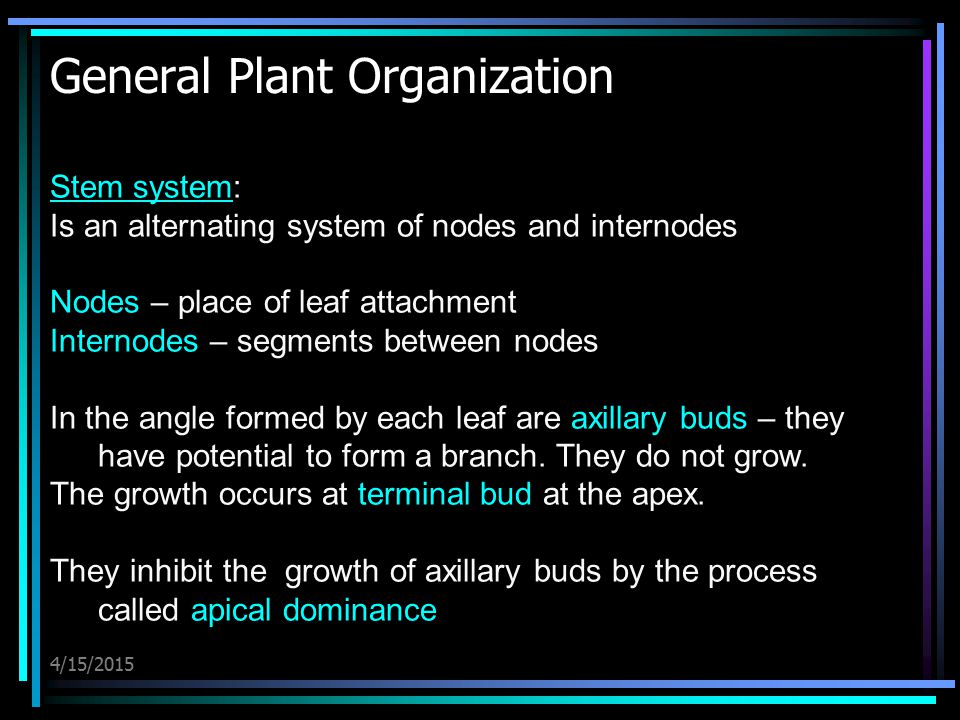 4/15/2015 General Plant Organization Stem systemStem system: Is an alternating system of nodes and internodes Nodes – place of leaf attachment Interno