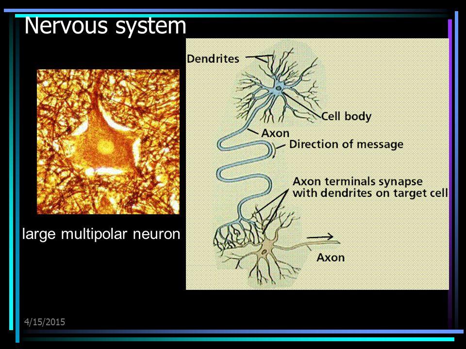 4/15/2015 Nervous system large multipolar neuron