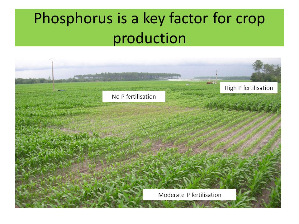 Phosphorus is a key factor for crop production Moderate P fertilisation No P fertilisation High P fertilisation