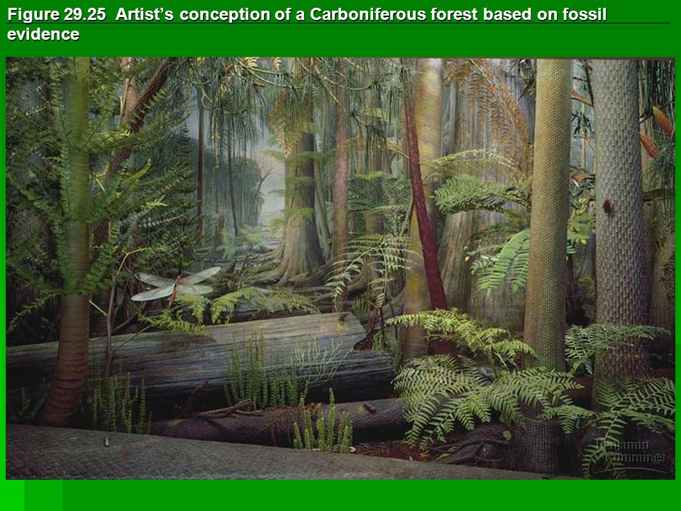 Figure 29.25 Artist's conception of a Carboniferous forest based on fossil evidence