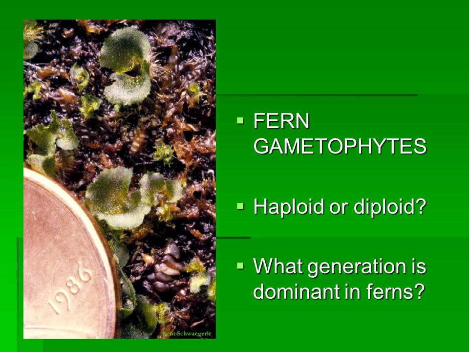  FERN GAMETOPHYTES  Haploid or diploid  What generation is dominant in ferns