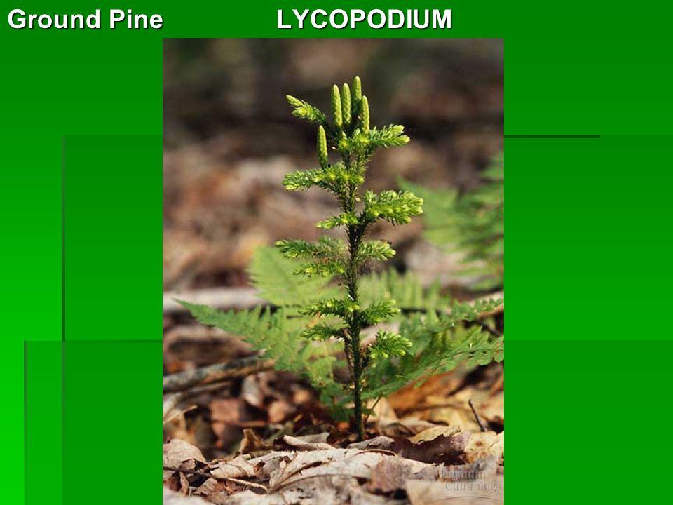 Ground Pine LYCOPODIUM