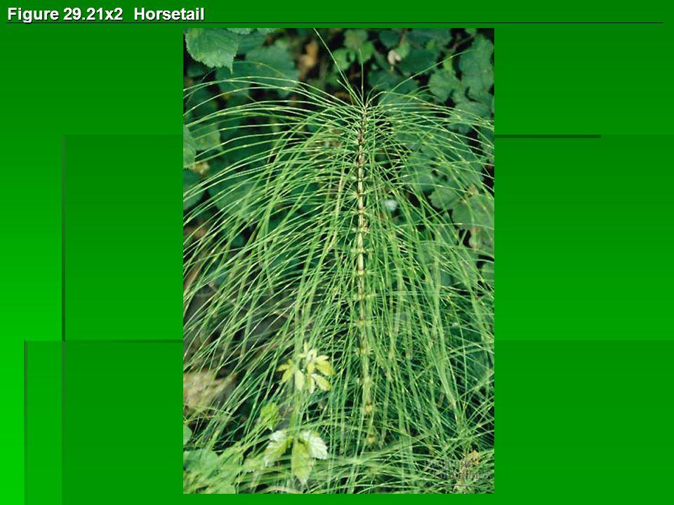 Figure 29.21x2 Horsetail