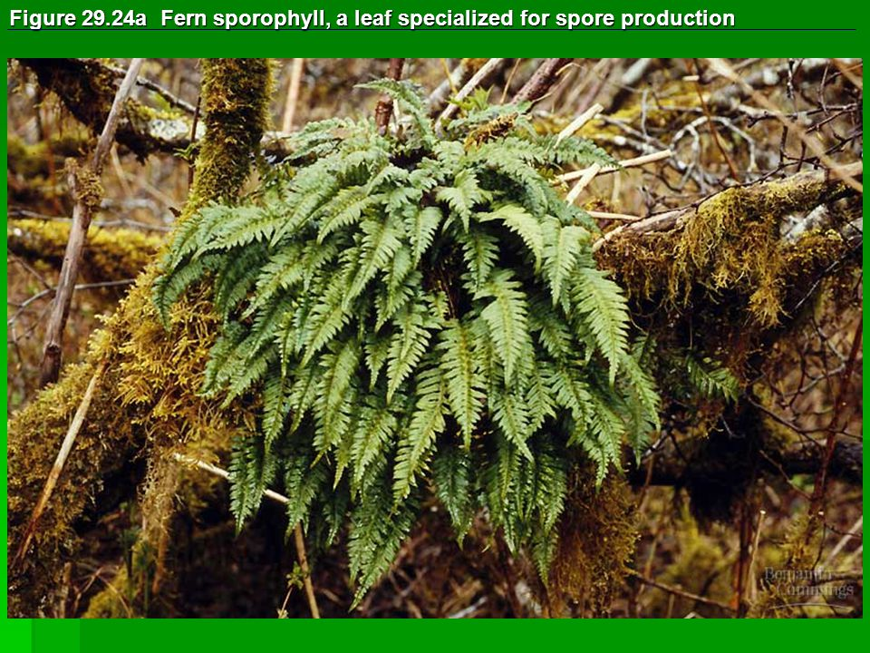 Figure 29.24a Fern sporophyll, a leaf specialized for spore production