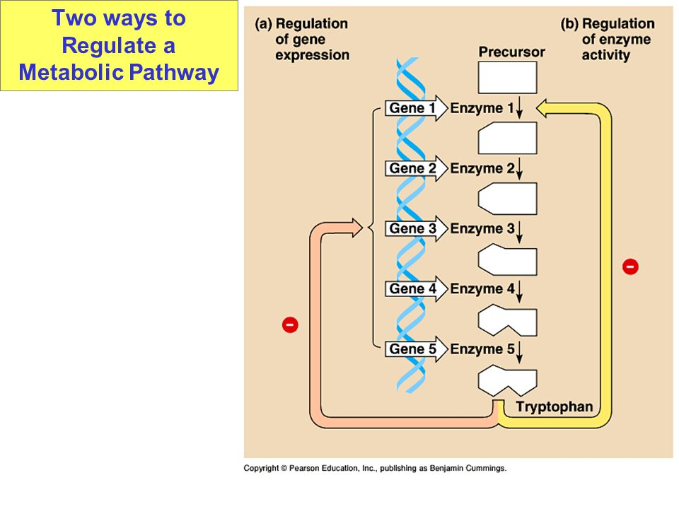 Two ways to Regulate a Metabolic Pathway
