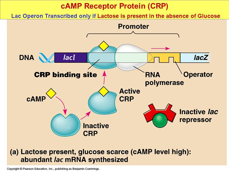 cAMP Receptor Protein (CRP) Lac Operon Transcribed only if Lactose is present in the absence of Glucose