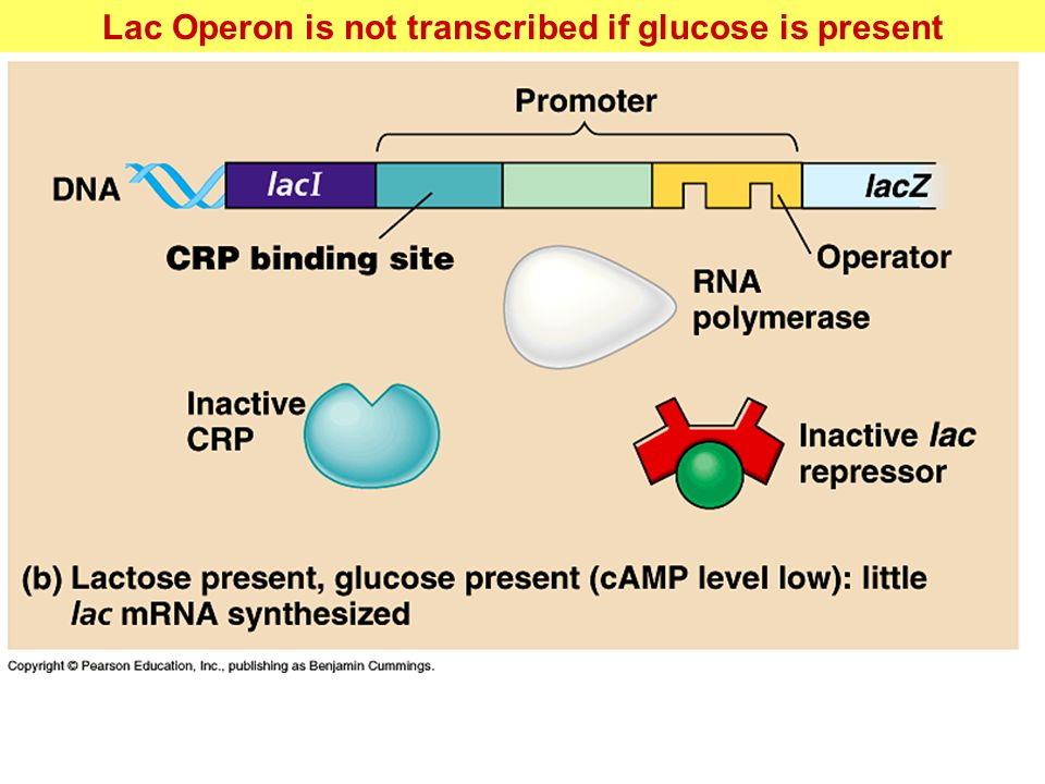 Lac Operon is not transcribed if glucose is present