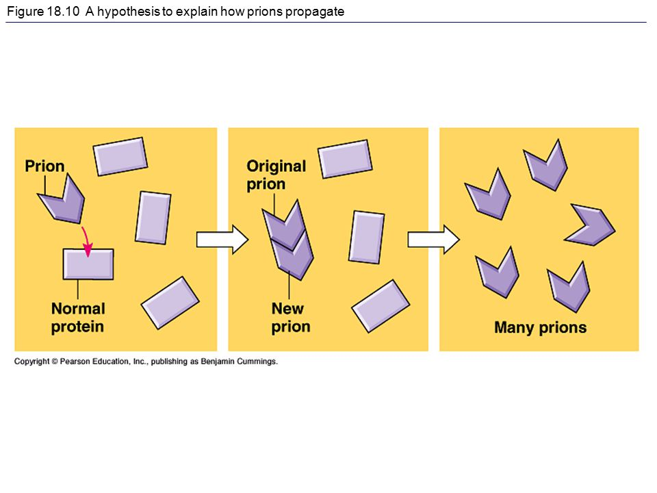 Figure 18.10 A hypothesis to explain how prions propagate