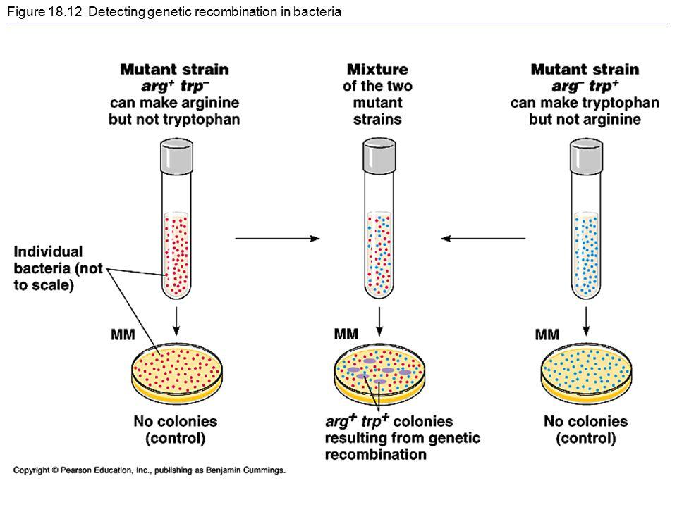 Figure 18.12 Detecting genetic recombination in bacteria