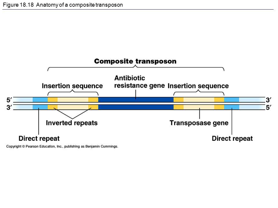 Figure 18.18 Anatomy of a composite transposon