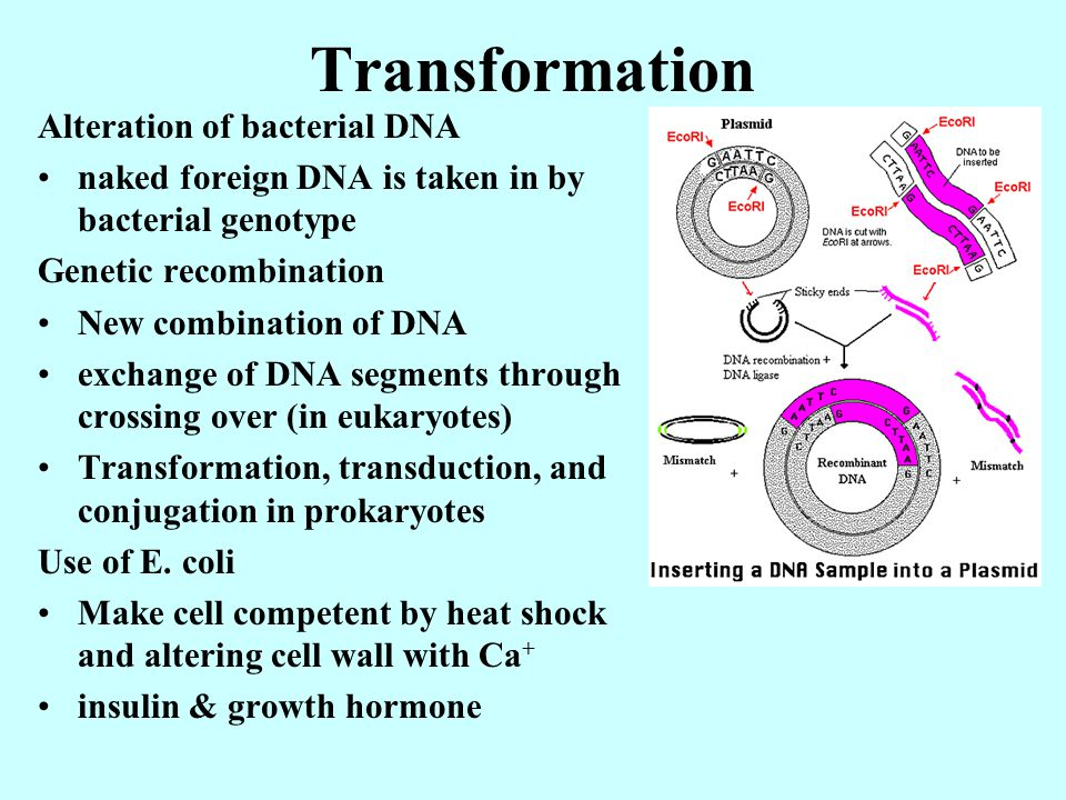 Transformation Alteration of bacterial DNA naked foreign DNA is taken in by bacterial genotype Genetic recombination New combination of DNA exchange o