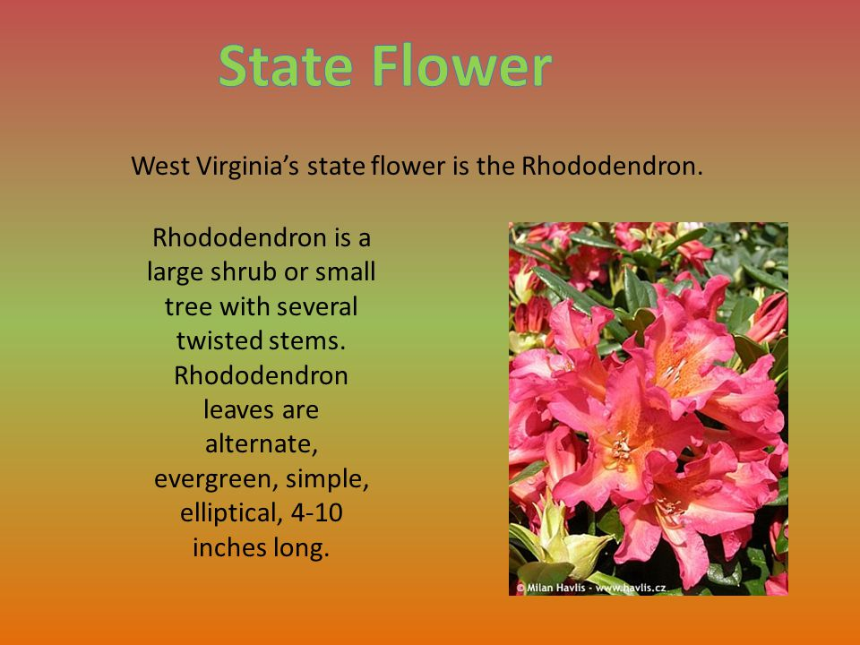 West Virginia's state bird is the Cardinal.