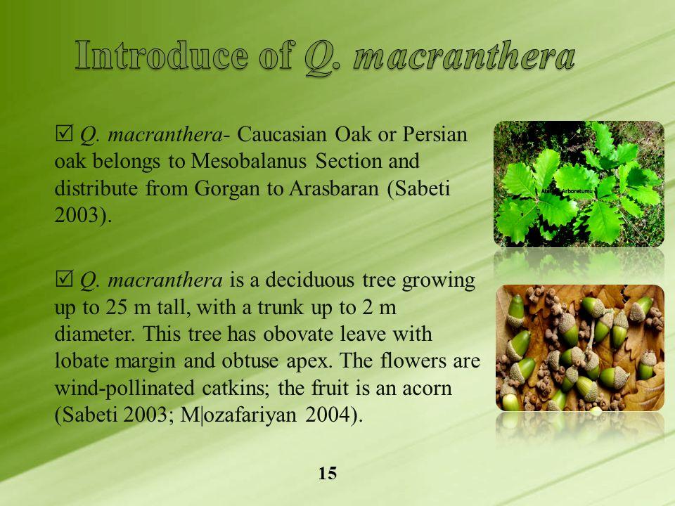  Q. macranthera- Caucasian Oak or Persian oak belongs to Mesobalanus Section and distribute from Gorgan to Arasbaran (Sabeti 2003).  Q. macranthera