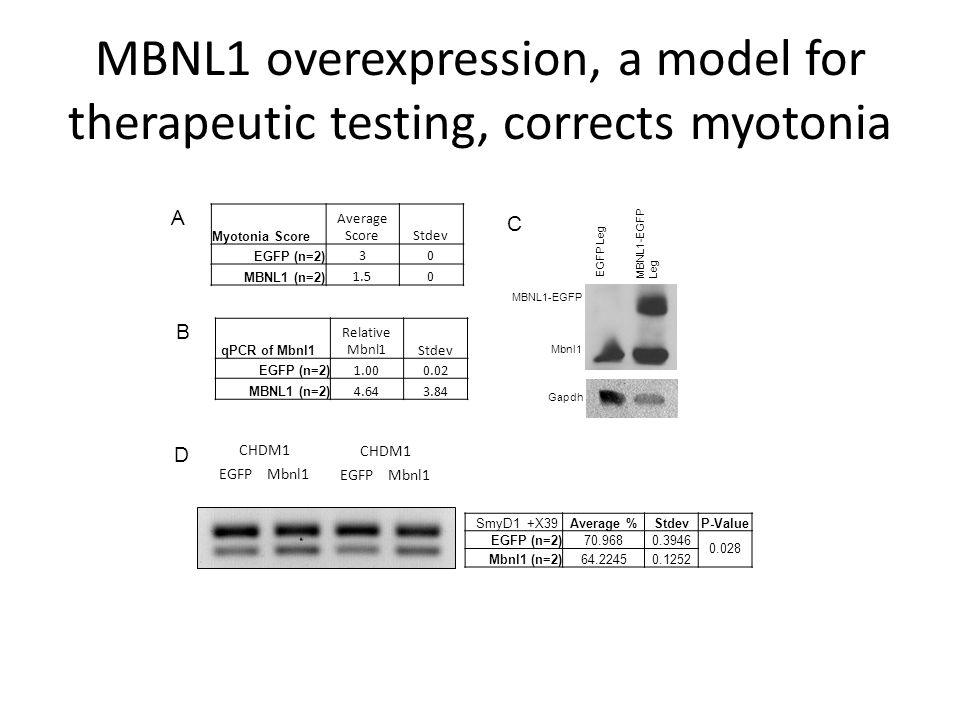 MBNL1 overexpression, a model for therapeutic testing, corrects myotonia SmyD1 +X39Average %StdevP-Value EGFP (n=2)70.9680.3946 0.028 Mbnl1 (n=2)64.22450.1252 EGFP Mbnl1 CHDM1 EGFP Mbnl1 CHDM1 qPCR of Mbnl1 Relative Mbnl1Stdev EGFP (n=2) 1.000.02 MBNL1 (n=2) 4.643.84 B D Myotonia Score Average ScoreStdev EGFP (n=2) 30 MBNL1 (n=2) 1.50 A Gapdh MBNL1-EGFP Mbnl1 EGFP Leg MBNL1-EGFP Leg C