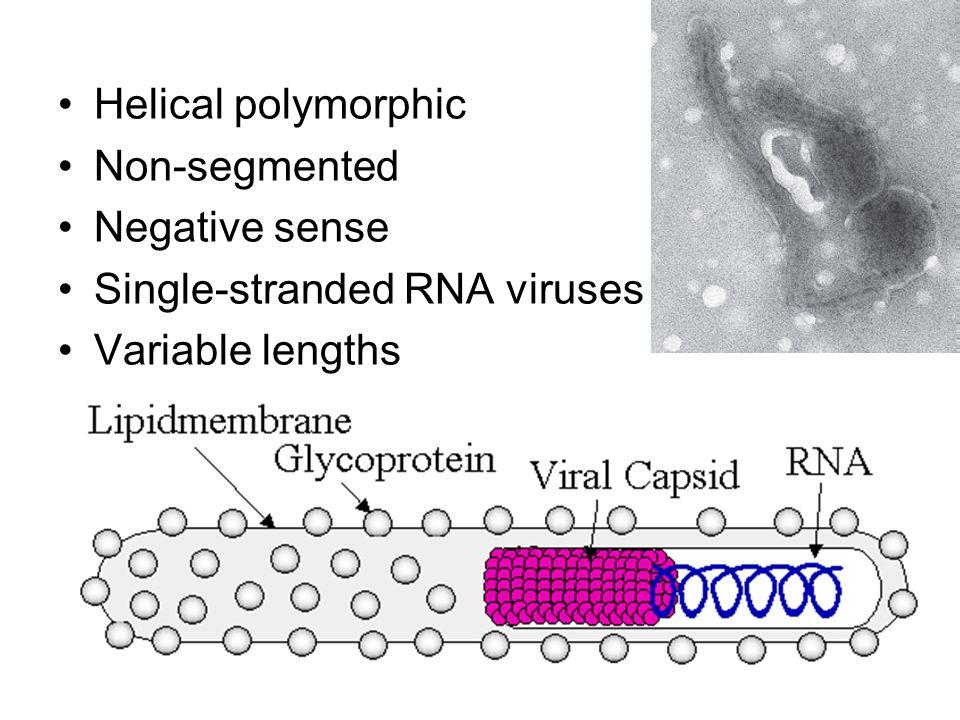 Helical polymorphic Non-segmented Negative sense Single-stranded RNA viruses Variable lengths