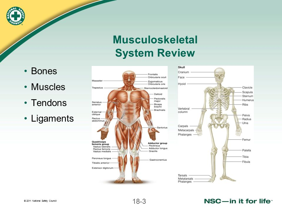 © 2011 National Safety Council 18-4 Primary Functions of Musculoskeletal System Provide shape and support for body Muscles acting on bones allow movement Bones protect vital internal organs