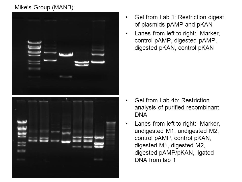 Mike's Group (MANB) Gel from Lab 1: Restriction digest of plasmids pAMP and pKAN Lanes from left to right: Marker, control pAMP, digested pAMP, digested pKAN, control pKAN Gel from Lab 4b: Restriction analysis of purified recombinant DNA Lanes from left to right: Marker, undigested M1, undigested M2, control pAMP, control pKAN, digested M1, digested M2, digested pAMP/pKAN, ligated DNA from lab 1
