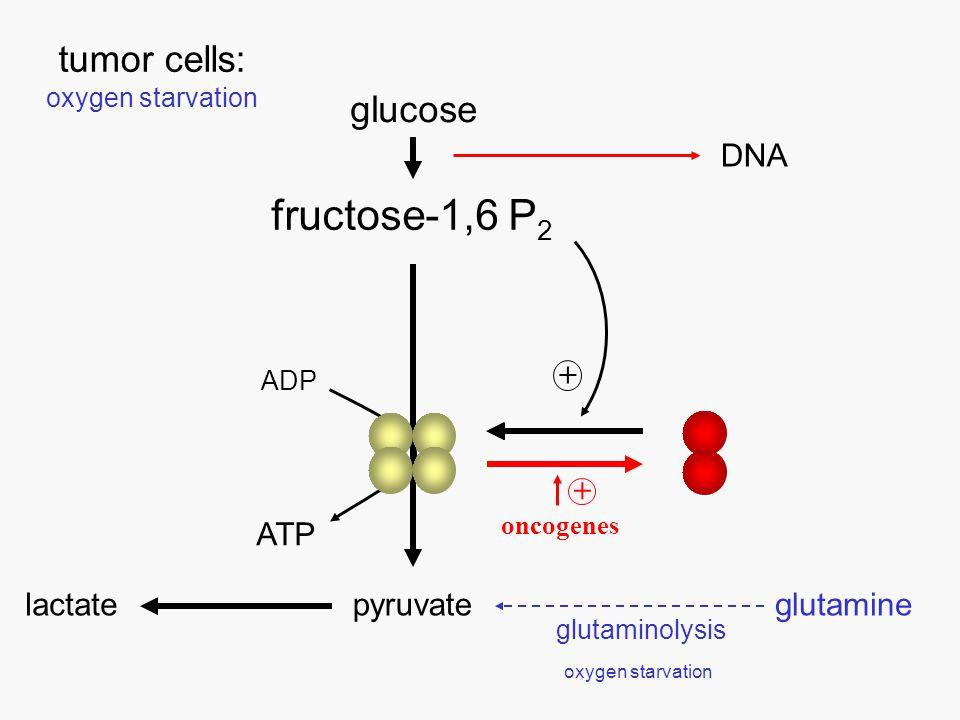 lactate production glucose consumption 010203040102030 uptakerelease glutamine [nmoles/g min] 0.5 1.0 1.5 2.0 Correlation between the lactate production : glucose consumption ratio and glutamine release in xenotransplanted human cervix carcinomas slope = 0.02 r = 0.86