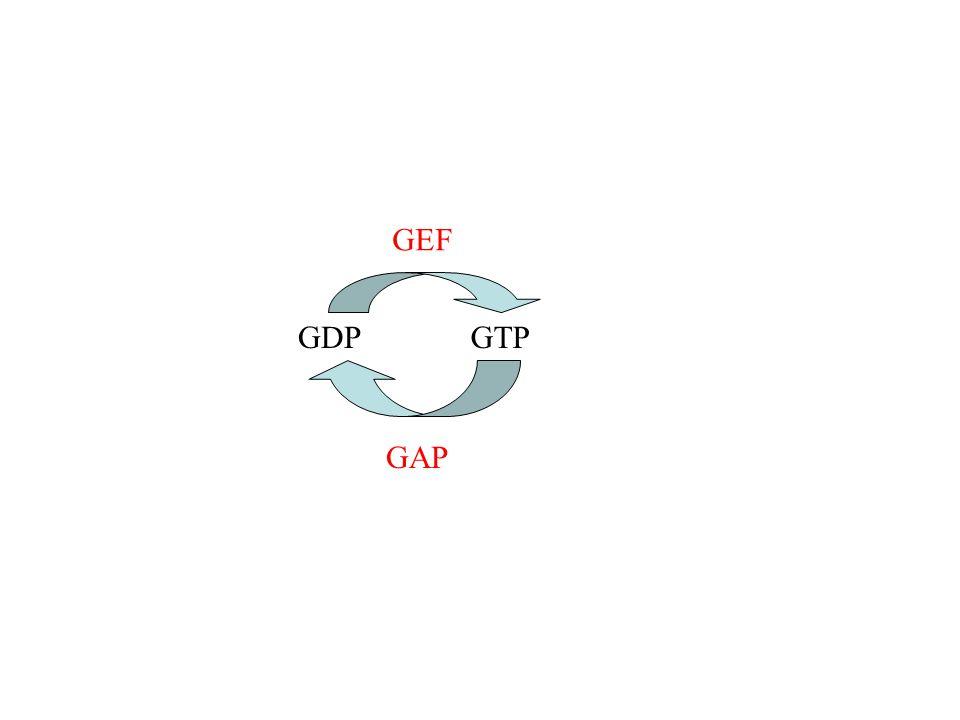 GDPGTP GEF GAP