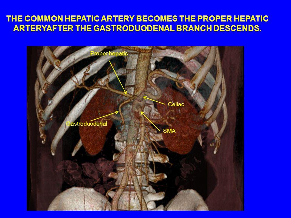 Proper hepatic Gastroduodenal Celiac SMA THE COMMON HEPATIC ARTERY BECOMES THE PROPER HEPATIC ARTERYAFTER THE GASTRODUODENAL BRANCH DESCENDS.
